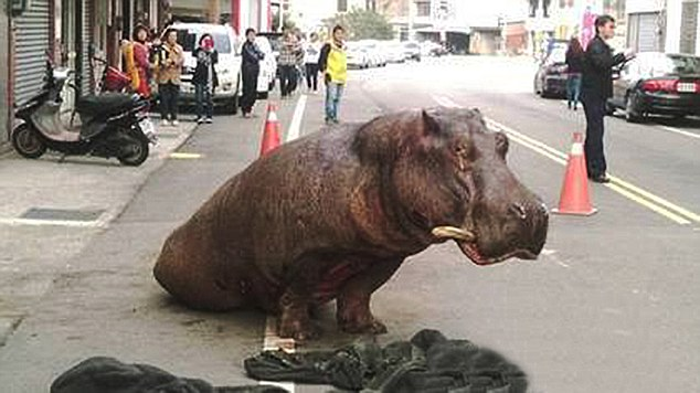 Dinosaur in Taiwan turns out to be a hippo
