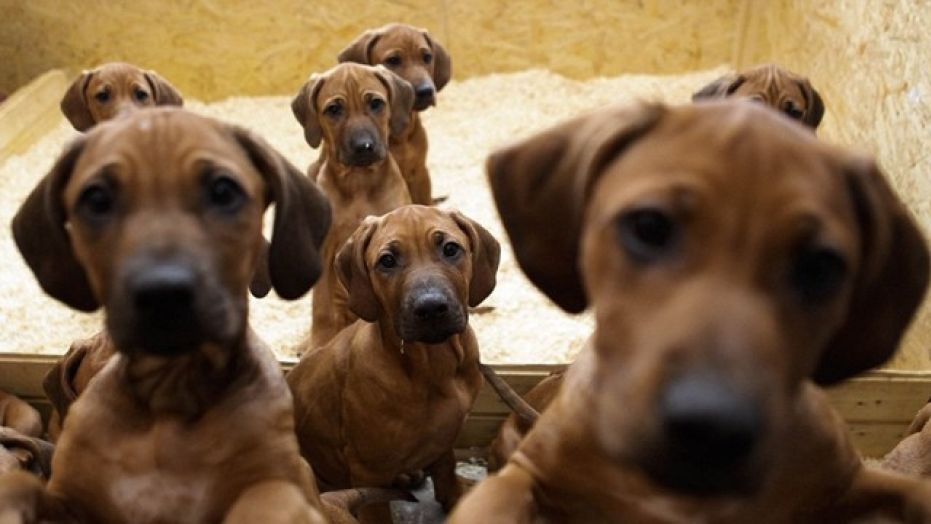 Scientists believe that our canine friends really are attempting to communicate using that pout or those irresistible pleading eyes. (Credit: Associated Press)