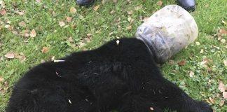 'Buckethead' Bear Cub Rescued After Three Days Stuck
