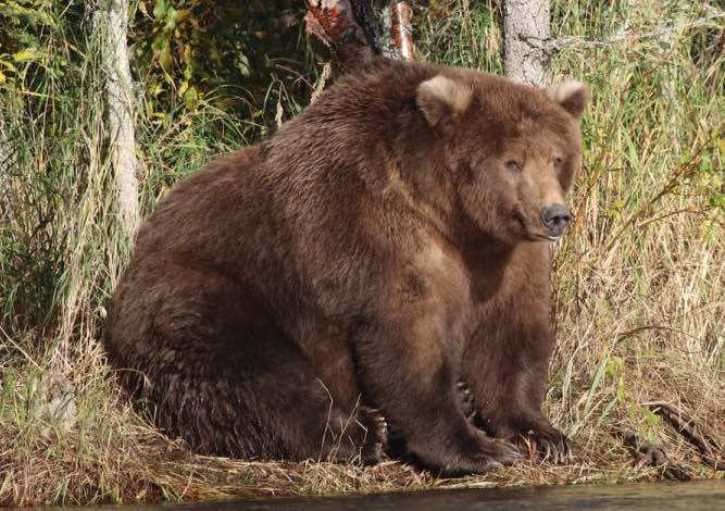 Fattest bear: Beadnose's 'fabulous flab' wins competition
