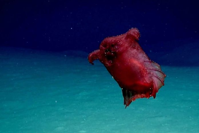 Headless Chicken Monster Spotted in the Deep Sea (Watch)
