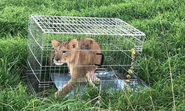 Netherlands: Jogger finds abandoned lion cub (Photo)