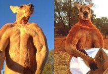 Roger, Australia's 'buff kangaroo' dies aged 12 after 'lovely long life'