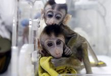 China clones five gene-edited monkeys (Study)