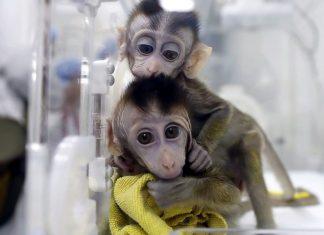 China clones five gene-edited monkeys (Study)