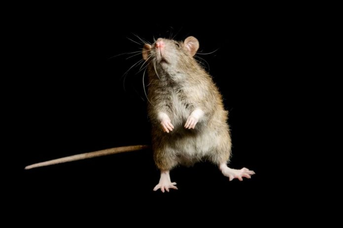 Rats 'not to blame' for Glasgow bubonic plague outbreak in 1900, Report