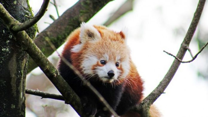 Red panda goes missing from Belfast zoo, Report