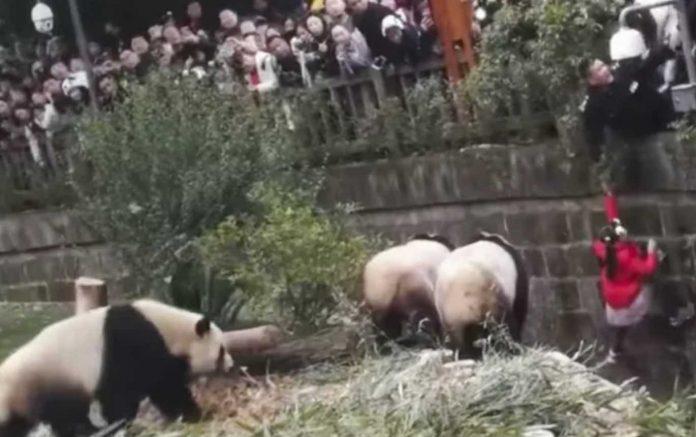 Girl Falls Into Giant Panda Enclosure at zoo in China