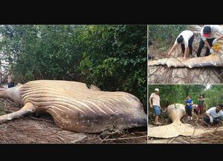Humpback Whale Washes Ashore in Amazon River (Video)