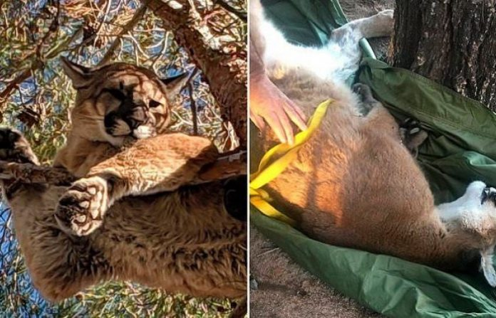 Mountain lion rescued from tree in California backyard