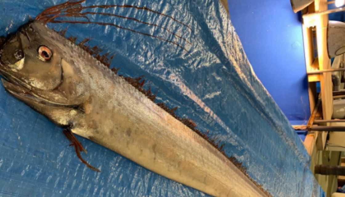 Oarfish washed up dead in Japan raise fears of tsunami ...