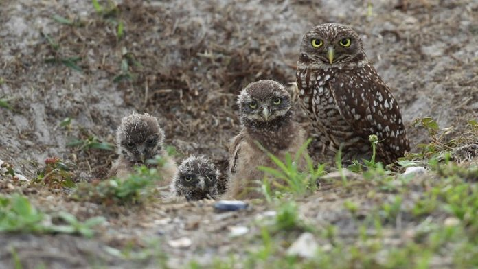 Rare owls thrive in ghost town near Los Angeles International Airport (Photo)