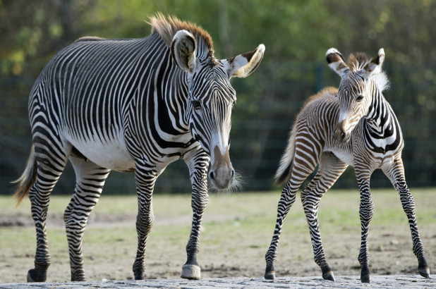 Researchers solve riddle of zebras' stripes