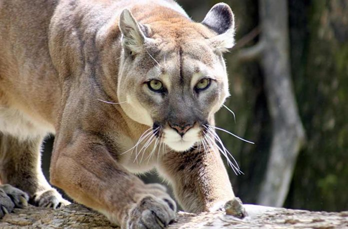 Runner Kills Mountain Lion That Attacked Him, Report