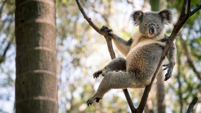 'Sexy Koala' Goes Viral After Striking Seductive Pose (Photo)
