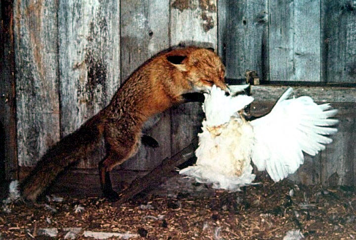 Chickens kill fox, Keep that in mind as you read this story | Star Mag