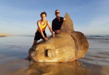 Giant sunfish washes up on beach in Australia (Photo)