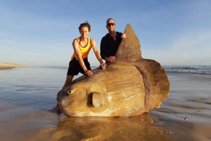 Giant sunfish washes up on beach in Australia (Photo)