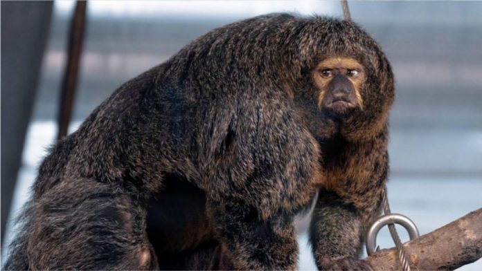 Muscular monkey that 'looks like bodybuilder' stuns zoo visitors