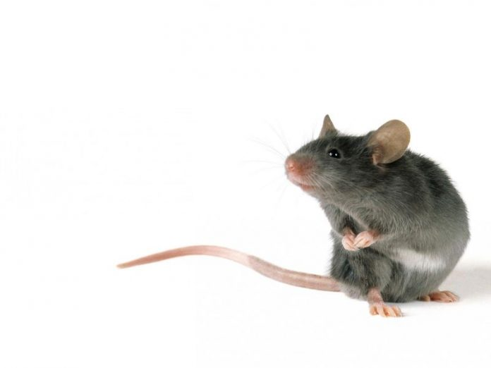 Singing Mice, Researchers Find Clue to Our Own Rapid Conversations