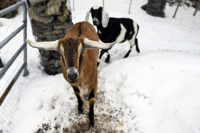 US town elects goat as 'mayor' (Photo)