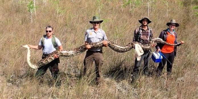 17-foot python is largest ever removed from Florida (Photo)