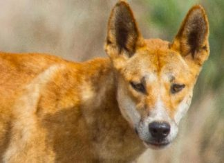 Australia dingo attack: Toddler recovering after emergency skull surgery
