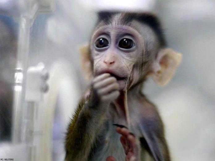 Researchers put human brain genes into monkeys