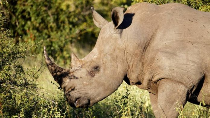 Rhino Poacher in South Africa Reportedly Killed By Elephant, Report