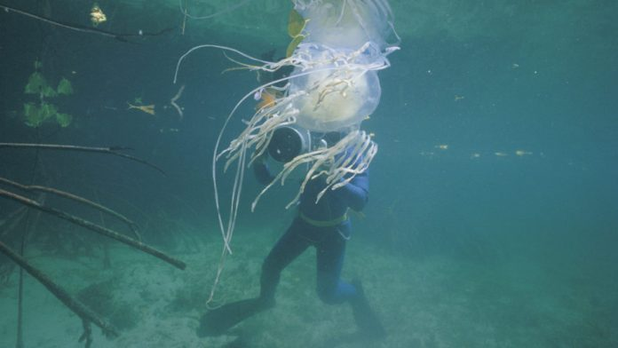 New antidote for box jellyfish sting isn't entirely new, Report