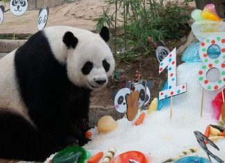 Chuang Chuang, popular panda on loan from China dies in Thai zoo