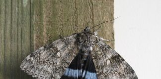 Extinct moth makes amazing return to Sussex, Report