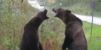 Grizzly bears fight caught on camera in Northern BC (Watch)