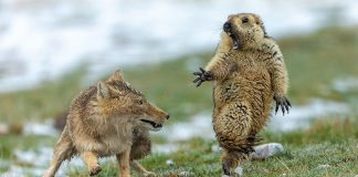 "Fox and marmot standoff photo wins ""Wildlife Photographer"""