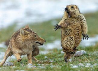 "Fox and marmot standoff photo wins ""Wildlife Photographer"""