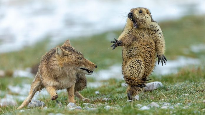 Fox and marmot standoff photo wins