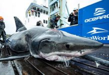 Great White Shark Bites Shark in in Atlantic Ocean, officials say