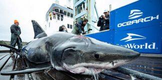 Great White Shark Bites Shark in in Atlantic Ocean, officials say