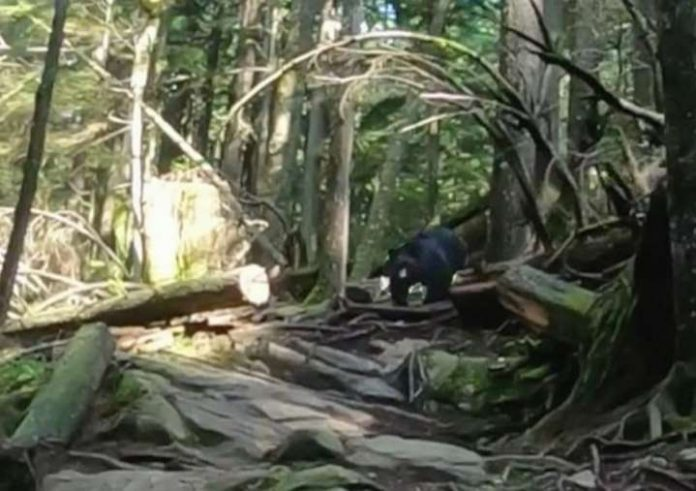 North Vancouver: cyclists chased by black bear on popular Mountain