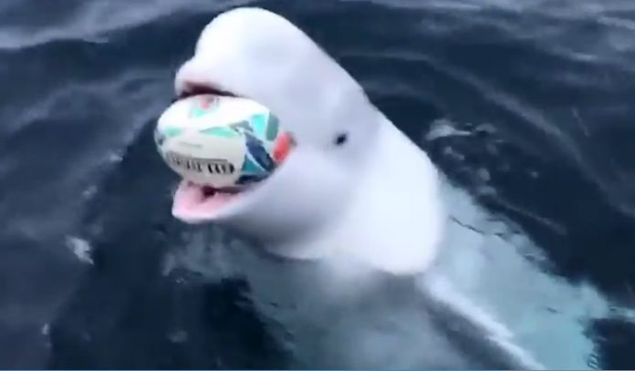 Beluga whale plays fetch. Is it the Russian 'spy whale' (Watch)