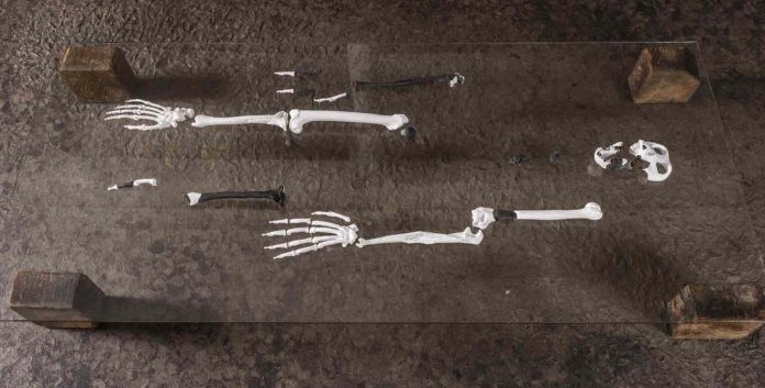 Earliest ape adapted to walk upright found, Report