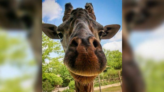 Kimba the giraffe dies after procedure complications