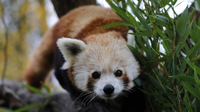 Red panda escapes from French zoo, Report