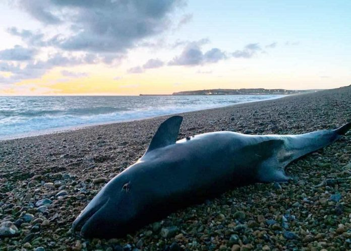 Baby porpoises are being poisoned by their mother's milk, Report