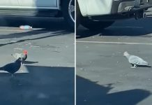 Pigeons seen wearing cowboy hats in Las Vegas (Video)