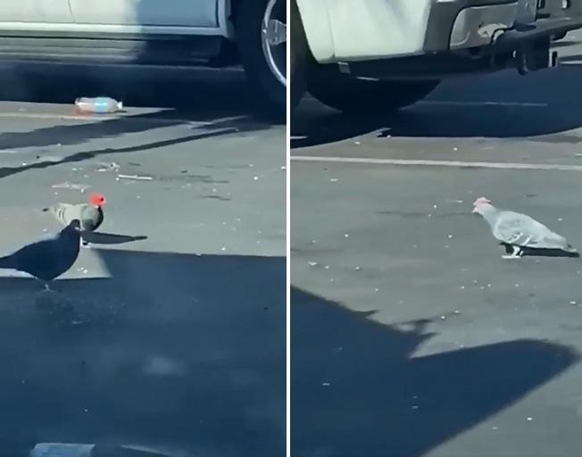 Pigeons seen wearing cowboy hats in Las Vegas (Video)