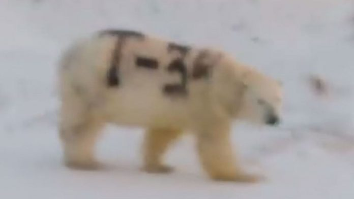 Polar bear spray-painted with 'T-34' baffles Russia wildlife, Report