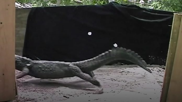 Study finds crocodiles can gallop like horses
