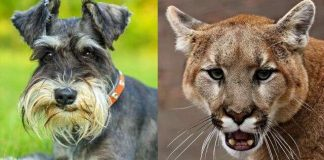 Woman tries to pry open mountain lion's jaws to free her dog in California