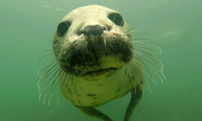 Grey seal caught 'clapping' on camera for the first time, Watch